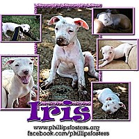 Adopt A Pet :: Iris - Colleyville, TX