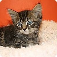 Adopt A Pet :: MORGAN - SILVER SPRING, MD