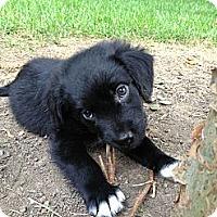 Adopt A Pet :: Macy - Bowie, MD