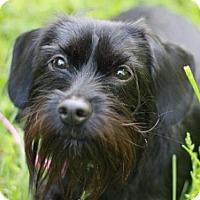 Adopt A Pet :: Duchess - Brattleboro, VT