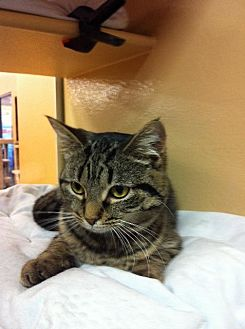 Domestic Shorthair Cat for adoption in Hartford City, Indiana - Devan