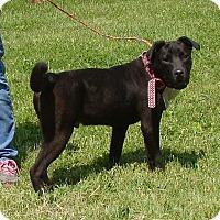 Labrador Retriever/Shar Pei Mix Dog for adoption in Cameron, Missouri - Ritchie