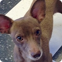 Dachshund/Chihuahua Mix Dog for adoption in PHOENIX, Arizona - Rayna