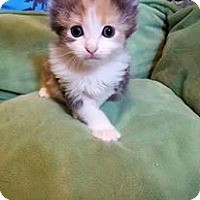 Adopt A Pet :: Amelia - DFW Metroplex, TX