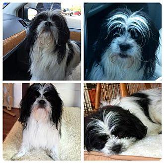 Japanese Chin/Maltese Mix Dog for adoption in Cary, North Carolina - Kramer