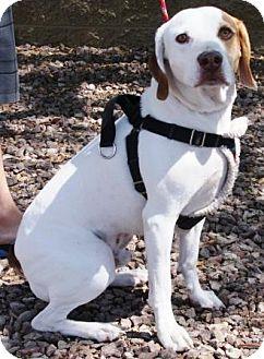 Foxhound Mix Dog for adoption in Gilbert, Arizona - Nubs
