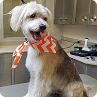 Wheaten Terrier Mix Dog for adoption in Wildomar, California - Perry