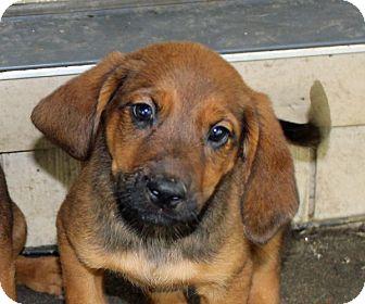 Labrador Retriever/Hound (Unknown Type) Mix Puppy for adoption in kennebunkport, Maine - Silver - in Maine