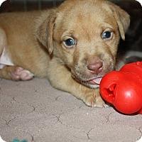 Adopt A Pet :: Puppies!!! - Henderson, NV