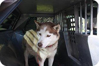 Siberian Husky Mix Dog for adoption in Shingleton, Michigan - Daisy (Delilah)