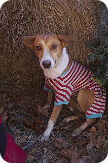 Australian Shepherd/Rat Terrier Mix Dog for adoption in Bishopville, South Carolina - Bailey