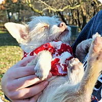 Adopt A Pet :: Rags - Lakeville, MN