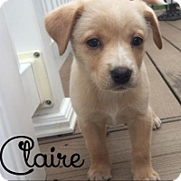 Adopt A Pet :: Claire - House Springs, MO