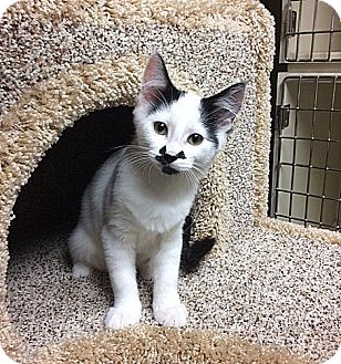 Domestic Shorthair Kitten for adoption in Creston, British Columbia - Ona