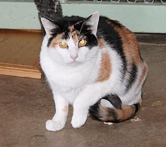 Domestic Shorthair Cat for adoption in Golden Valley, Arizona - Jessa