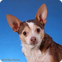 Adopt A Pet :: Tippi- Buffalo NY - Dayton, OH
