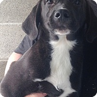 Adopt A Pet :: CHANCE Puppy - Pompton lakes, NJ