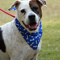 American Bulldog Mix Dog for adoption in Jackson, Mississippi - Bones