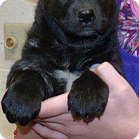 Adopt A Pet :: TEDDY BEAR PUPS C - Corona, CA