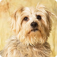 Adopt A Pet :: Sugar Daddy - Gilbert, AZ