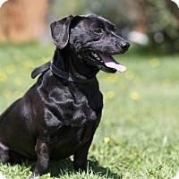 Adopt A Pet :: POGO - Ile-Perrot, QC