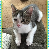 Adopt A Pet :: Bobby - Mt. Prospect, IL