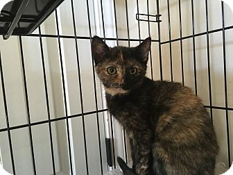 Domestic Shorthair Kitten for adoption in Mount Laurel, New Jersey - Sunflower
