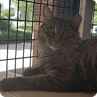 Domestic Mediumhair Cat for adoption in Cary, North Carolina - Wanda