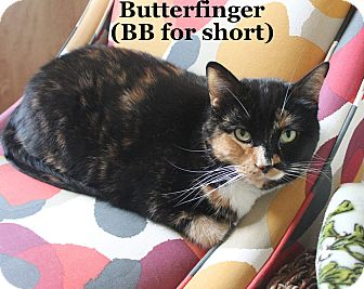 Domestic Shorthair Cat for adoption in Bentonville, Arkansas - Butterfinger