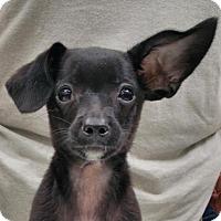 Adopt A Pet :: Prince Levi - Los Angeles, CA