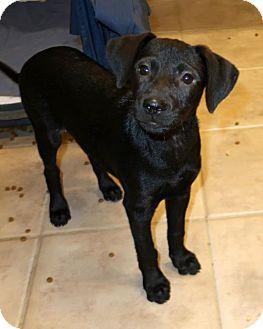 Dachshund/Beagle Mix Puppy for adoption in Towson, Maryland - Perla