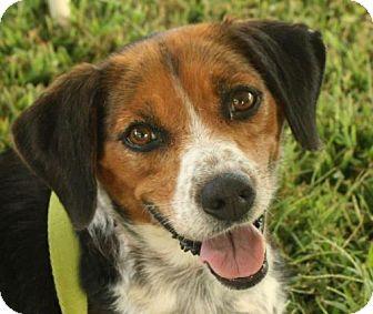 Beagle Mix Dog for adoption in Rockville, Maryland - Grace