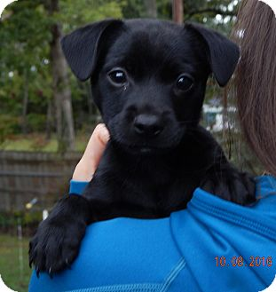 Labrador Retriever/Retriever (Unknown Type) Mix Puppy for adoption in Sussex, New Jersey - Shae (5 lb) Video!