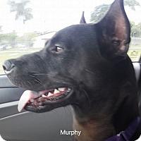 Labrador Retriever/Terrier (Unknown Type, Medium) Mix Dog for adoption in Pompano Beach, Florida - Murphy