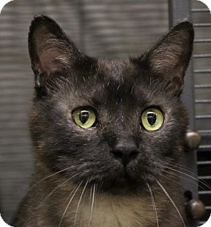 Domestic Shorthair Cat for adoption in West Des Moines, Iowa - Sniper
