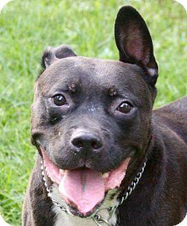 American Bulldog Mix Dog for adoption in Bolingbrook, Illinois - YAGO
