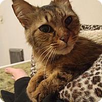 Siberian Cat for adoption in San Francisco, California - Fergie