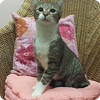 Domestic Shorthair Cat for adoption in Addison, Illinois - Florentine