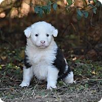 Adopt A Pet :: Falcor - Groton, MA