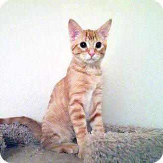 Domestic Shorthair Kitten for adoption in Arlington/Ft Worth, Texas - Peanut