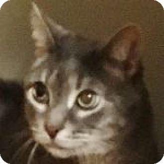 Domestic Shorthair Cat for adoption in Medford, Massachusetts - Smokey