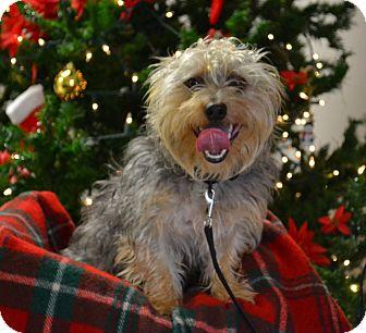 Silky Terrier Dog for adoption in Lebanon, Missouri - Bobby