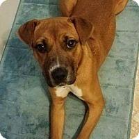 Adopt A Pet :: Pebbles - Dayton, OH