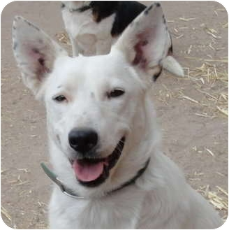 iris adopted dog 72 pie town nm border collie