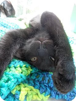 Domestic Shorthair Cat for adoption in Fenton, Missouri - Micah