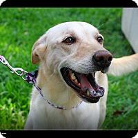 Labrador Retriever Mix Dog for adoption in Temple City, California - Jolin