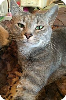 Domestic Shorthair Kitten for adoption in Waxhaw, North Carolina - Simon