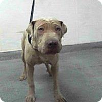 Adopt A Pet :: Mulligan - pending - Mira Loma, CA