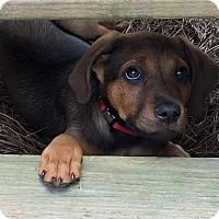 Adopt A Pet :: Bellini - Alpharetta, GA