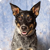 Adopt A Pet :: Rey - Gilbert, AZ
